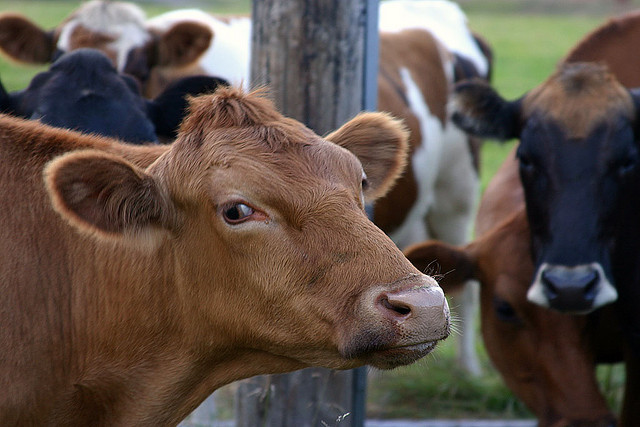 Animals on Three Farms May Have Mad Cow Disease