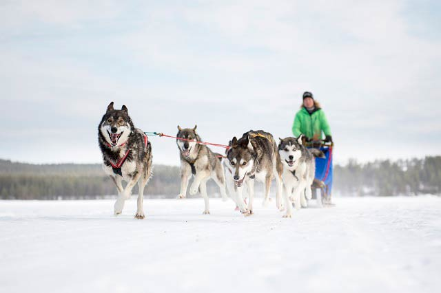 Exciting Dog Sledding in Norway
