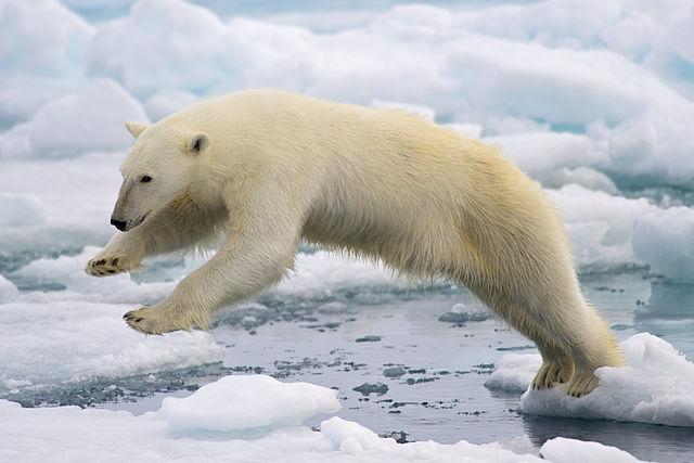 Polar Bears Attacked Czech Tourists in Svalbard