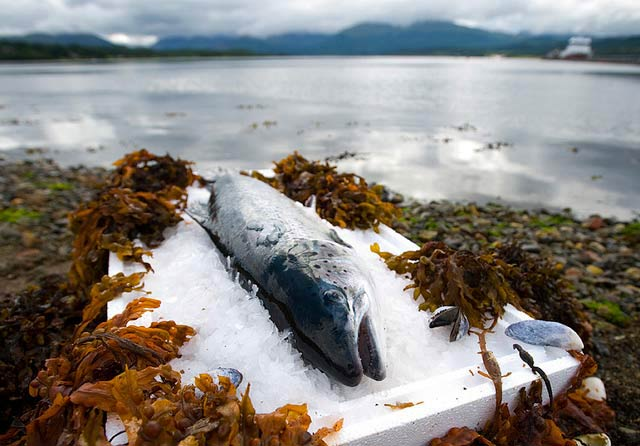 A major drop in salmon export price
