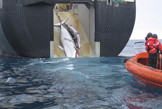 Norway Keeps Whaling Quota, Environmentalists React