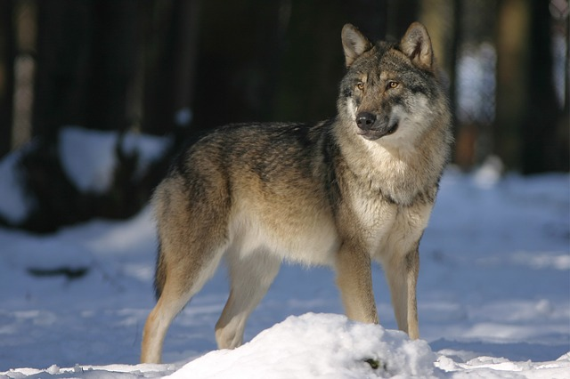 Norway's Predicament-  Kill Or Keep Wolves?
